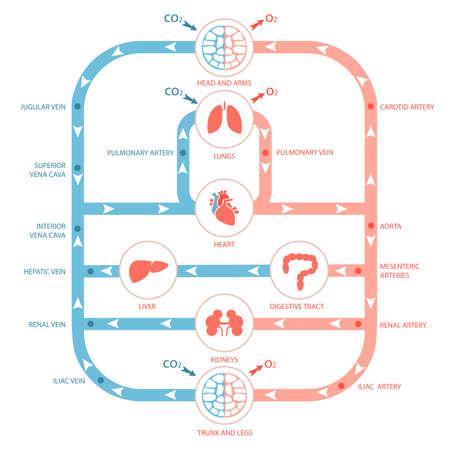 hart anatomie, bloedsomloop, menselijk bloed slagader, medische illustratie