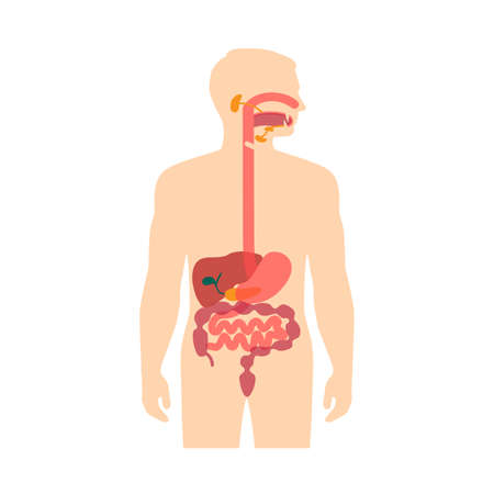 anatomy human digestive system, stomach vector illustration Иллюстрация