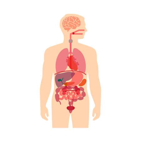 esofago: anatomía del cuerpo humano, médico sistema de vector de órganos,