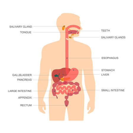 sistema digestivo: anatom�a del sistema digestivo humano, ilustraci�n vectorial est�mago