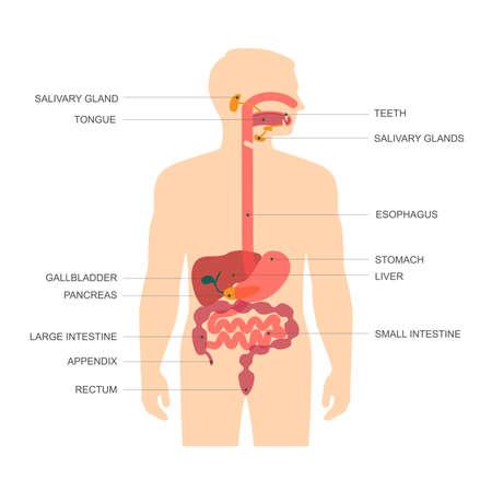 układ pokarmowy: anatomia układu pokarmowego człowieka, ilustracji wektorowych w żołądku