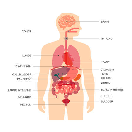 pancreas: human body anatomy, medical organs vector system,