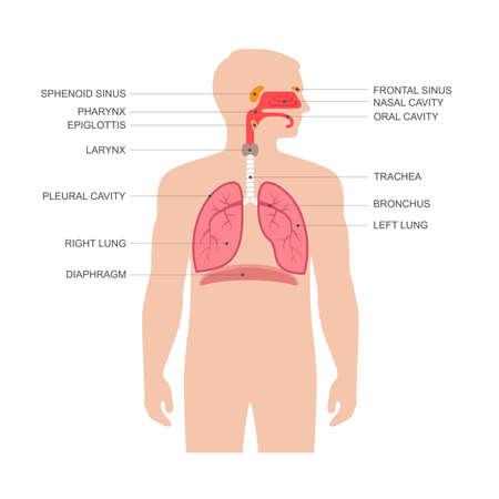 human respiratory system anatomy, vector illustration medical nose Vector