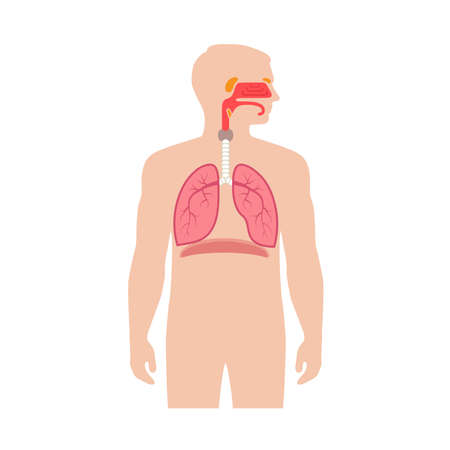 human respiratory system anatomy, vector illustration medical nose Иллюстрация