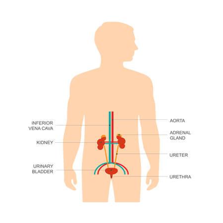 urinario: Anatomia del sistema urinario umano, illustrazione vettoriale rene medico