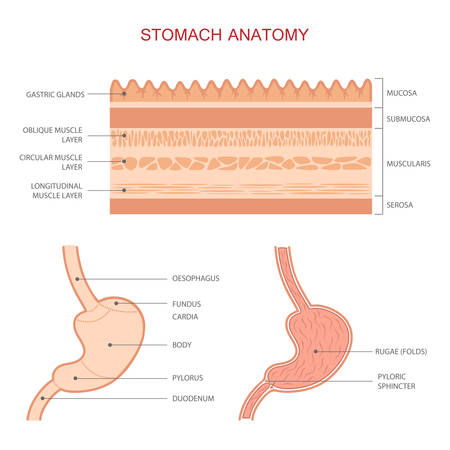 gastric: human gastric stomach digestive system anatomy medical illustration Illustration