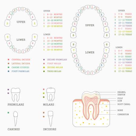 limpieza: diente humano carta anatom�a dientes diagrama ilustraci�n
