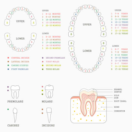human tooth anatomy chart diagram teeth illustration  イラスト・ベクター素材