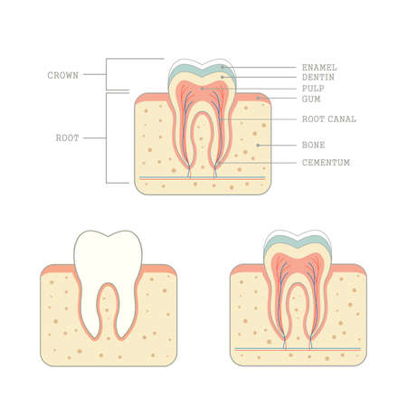 dental pulp: tooth human teeth medical anatomy illustration Illustration