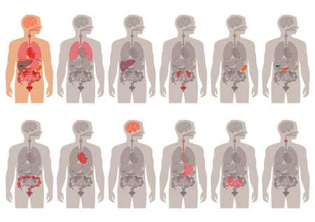 organi interni: corpo umano anatomia vettore sistema medico organi,
