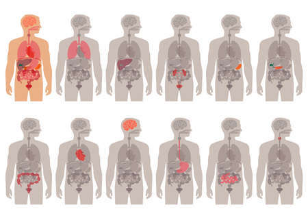 sistema digestivo: sistema de órganos médicos anatomía vector cuerpo humano, Vectores