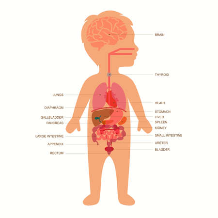 human body anatomy, medical organs child vector system