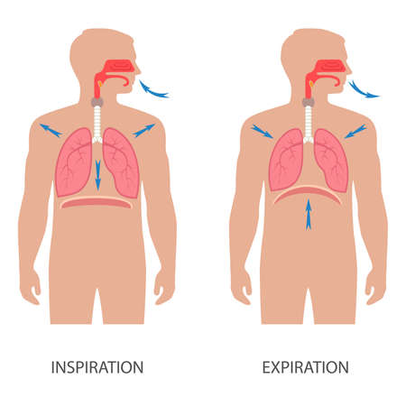 respiratory: Vector respiratory system anatomy, breathing human diaphragm