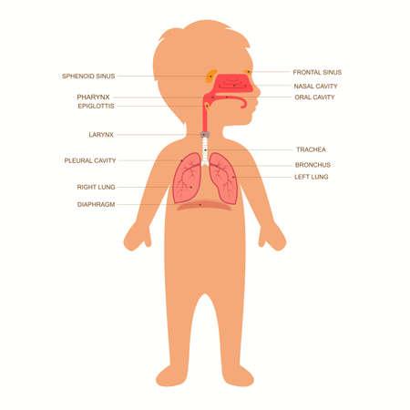 human respiratory system anatomy, child medical vector illustration nose 일러스트