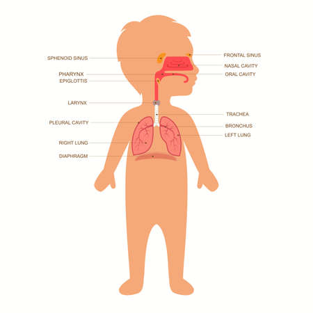 human respiratory system anatomy, child medical vector illustration nose Vettoriali