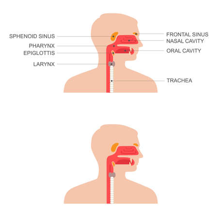 maxillary: nose, throat anatomy, human mouth, respiratory system Illustration