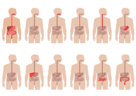 higado humano: sistema digestivo anatomía humana, ilustración vectorial estómago Vectores