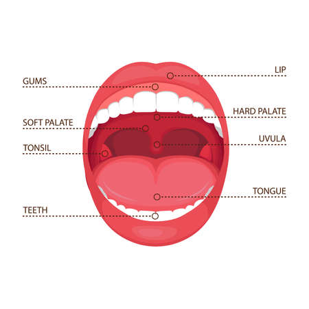 A vector illustration of a human open mouth anatomy. medical diagram