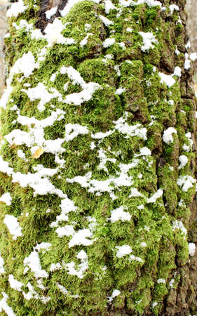 moss on tree bark covered with snow photo