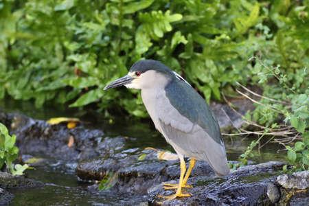 black-crowned night heron Stock Photo - 13672074
