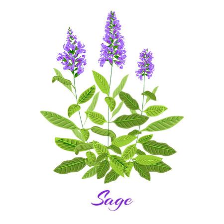 salvia: Flowering sage. Sage herb. Purple flowers. Vector illustration eps10 Illustration