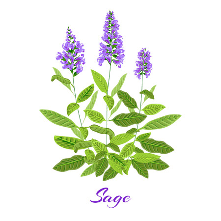 Flowering sage. Sage herb. Purple flowers. Vector illustration eps10 Illustration