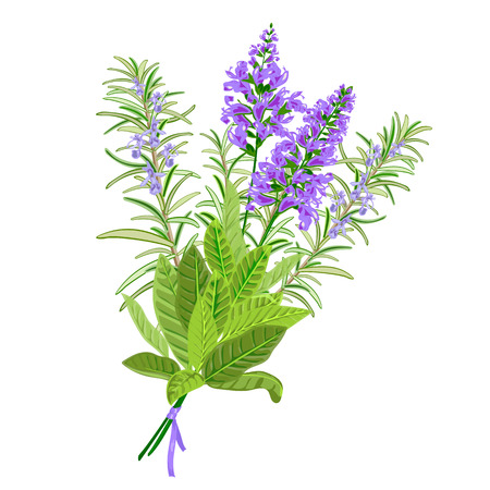 salvia: Bunch of flowering sage and rosemary. Vector illustration