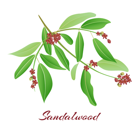 Sandalwood tree branch. with red flowers Vector illlustration. Иллюстрация