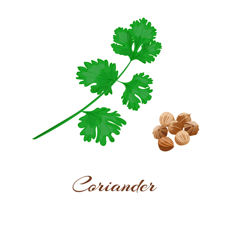 Coriander or cilantro. Leaf and seeds. Isolated on White. Vector illustration.