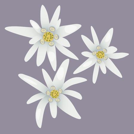 Edelweiss flowers. Leontopodium alpinum. Alps symbol. Vector illustration.
