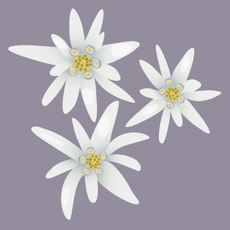 Edelweiss flowers. Leontopodium alpinum. Alps symbol. Vector illustration.