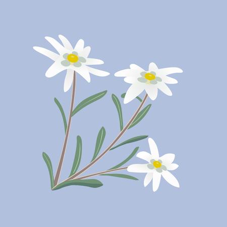 alpine: Edelweiss flowers. Leontopodium alpinum. Alps symbol. Vector illustration.