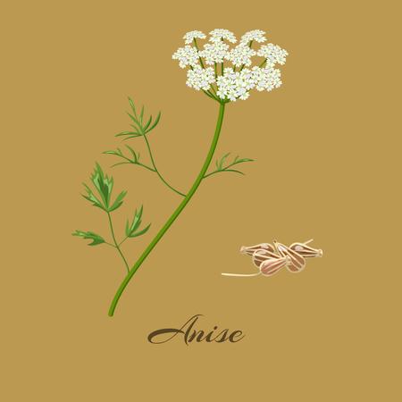 Anice o anice. Pimpinella anisum. Fiori e semi. Illustrazione vettoriale.