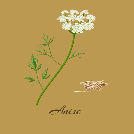 Anise or aniseed.  Pimpinella anisum. Flowers and seeds. Vector illustration. Ilustração