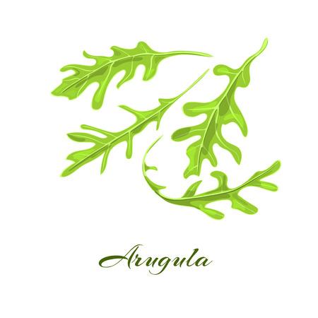 roquette: Arugula herb. Eruca sativa, salad rocket, rucoli, rugula, colewort, roquette. Vector illustration Illustration