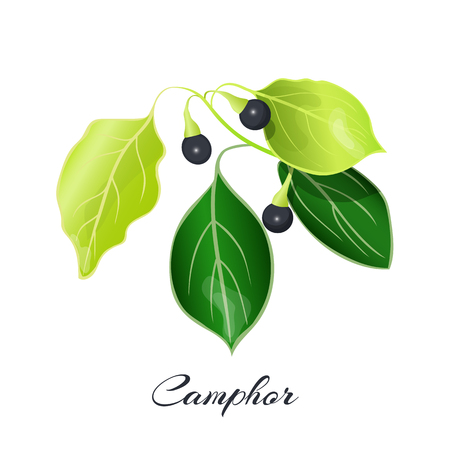 Camphor laurel branch. Cinnamomum camphora commonly known as camphor tree or camphorwood.