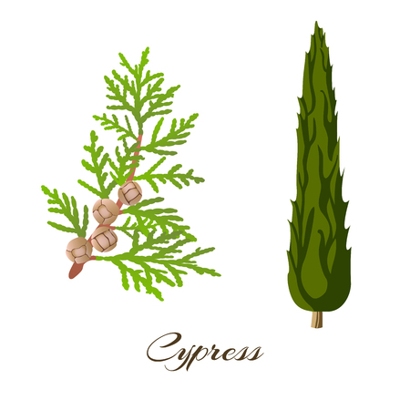 Cypress branch and tree . Cupressus sempervirens . Vector illustration.