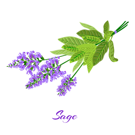 officinalis: Bunch of flowering sage. Sage herb. Vector illustration