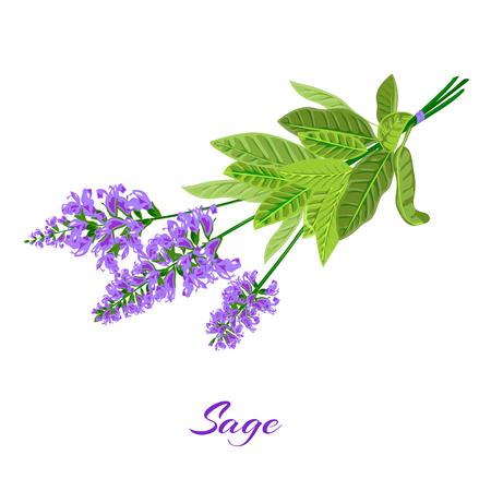 salvia: Bunch of flowering sage. Sage herb. Vector illustration