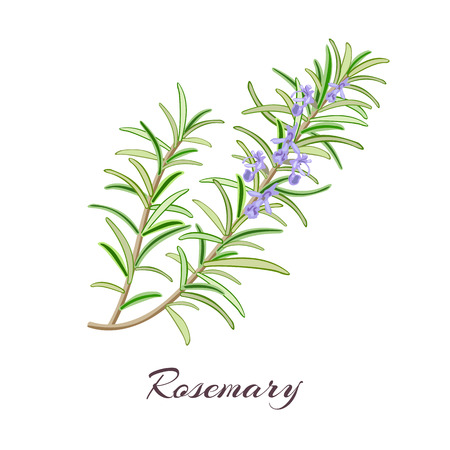 Rosemary (Rosmarinus officinalis). Leaves and flowers. Vector illustration.