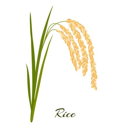 Rijst. Bladeren en aartjes van rijst op een witte achtergrond. Vector illustratie. Eps 10.
