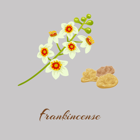 Frankincense: Boswellia tree flowers.  Fankincense. tree Vector illustration.