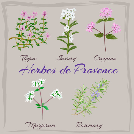 provence: Herbes de Provence. Thyme, Savory, Oregano, Marjoram, Rosemary. Vector illustration.