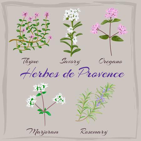 herbes: Herbes de Provence. Thyme, Savory, Oregano, Marjoram, Rosemary. Vector illustration.