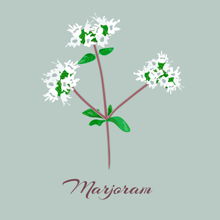 marjoram: Marjoram or Origanum majorana. Flowers and leaves. Vector illustration.