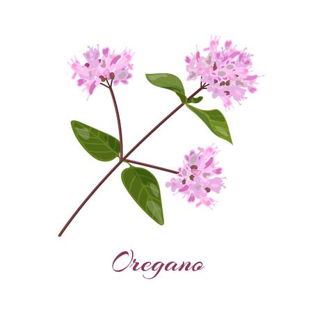 Blossoming oregano flowers. Origanum vulgare. Vector illustration. Illustration