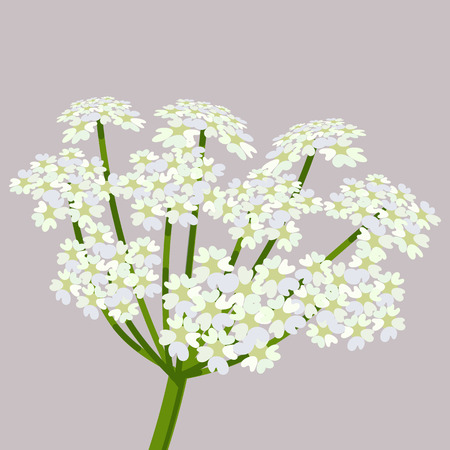 Daucus carota, common names wild carrot, birds nest, bishops lace or Queen Annes lace.  Flowering plant. Vector illustration.