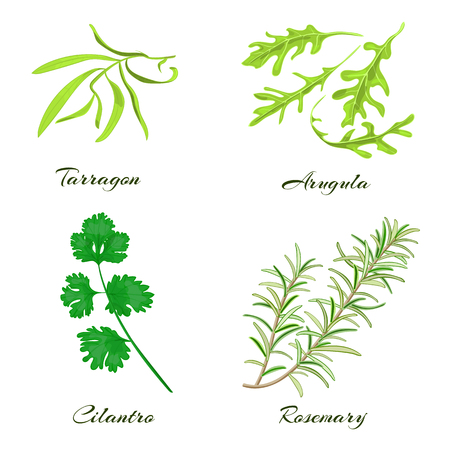 tarragon: Herbs collection. Tarragon, arugula, cilantro or coriander, rosemary. Vector illustration.