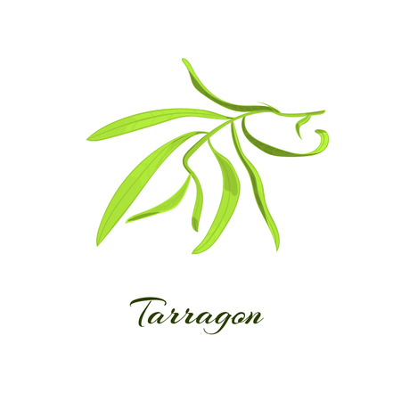 tarragon: Tarragon herb or Artemisia dracunculus. Vector illustration Illustration
