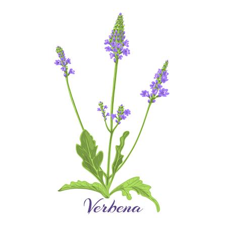 Flowering herb verbena or vervain. Vector illustration.